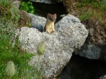 weasel in rocks